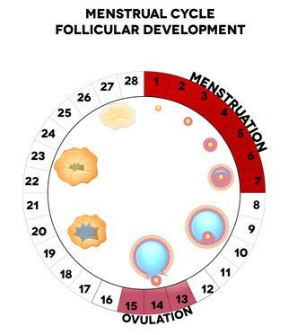 Qu'est ce que l'ovulation ? - Photo (1)